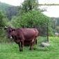 Чуйпетловска кравичка